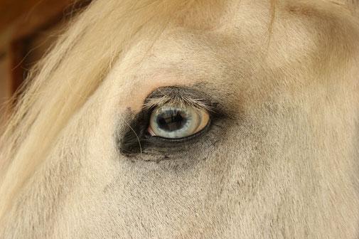 pferd - Nahaufnahme Auge am reiterhof althof