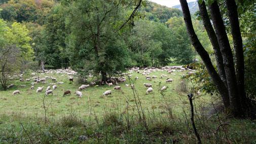 Eine Schafherde schlägt sich in die Büsche...