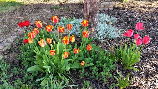 Auch die Tulpen mögen Sonne...