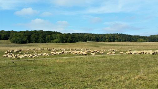 Eine große Herde Schafe im ehemaligen Truppenübungspatz...
