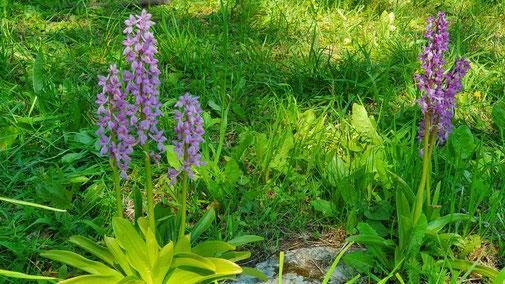 Die Orchideenwiese bei Berneck