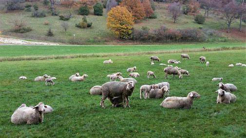 Im Lonetal sind Schafe heute eher selten geworden...