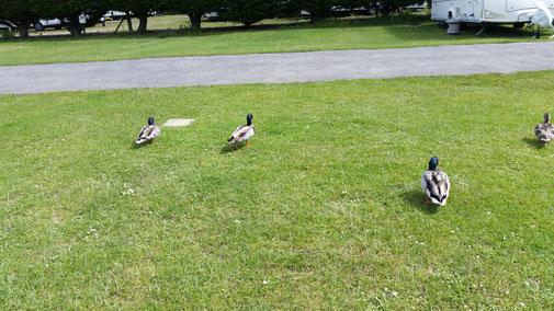 Die Enten wackeln nach dem Frühstück zu ihrem Weiher...