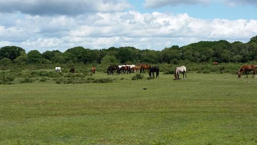 Pferde stehen häufig in der Landschaft... ganz ohne Stall...