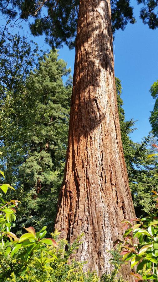 Mammutbaum, im oberen Bereich (rechts) ist der Blitzableiter zu erkennen...