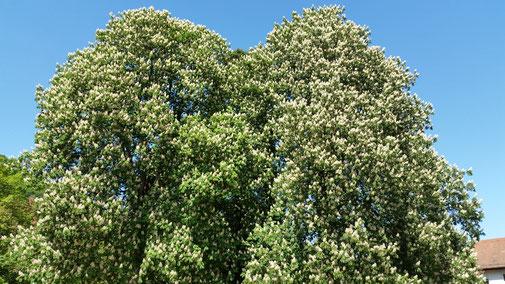 In voller Blüte... der eineiige Kastanienzwillingsbaum...