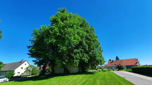 Es mag aussehen wie ein einziger Baum...