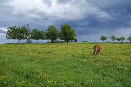 Glückliche Kuh auf Weide