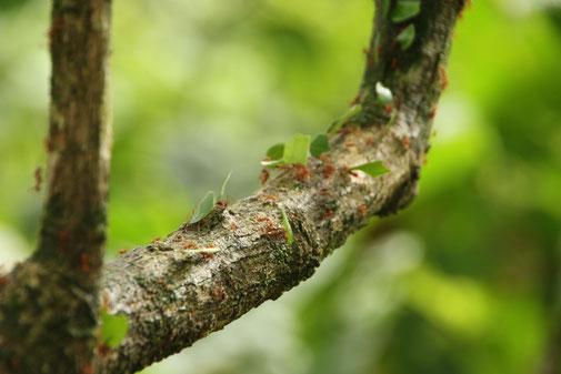 Blattschneiderameisen im Cahuita Nationalpark