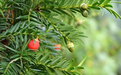 Nadeln und Früchte der Eibe