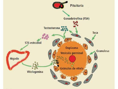 Diagrama que ilustra el proceso de vitelogénesis