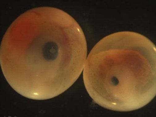 Ova con ojos normales y ova microftálmica