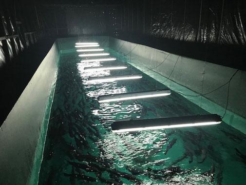 Construcción y operación módulos de cultivo de reproductores bajo régimen de manejo del fotoperíodo en nuestro centro de reproducción Ojos del Caburgua.