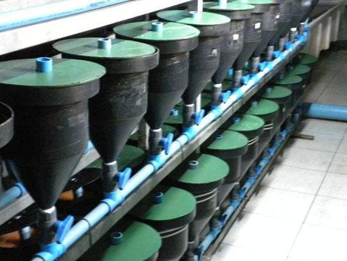 Incubación en zoug jar, 1ras. 24 hrs.