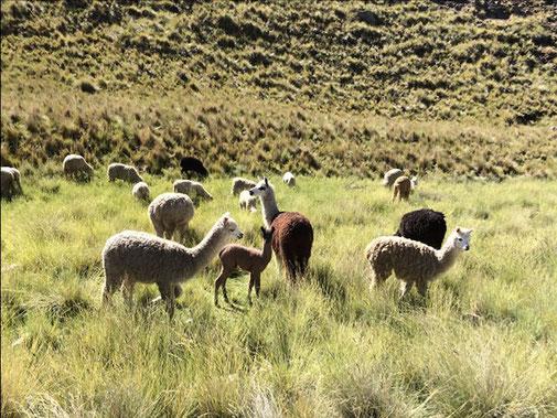 Altiplano peruano Departamento de Puno