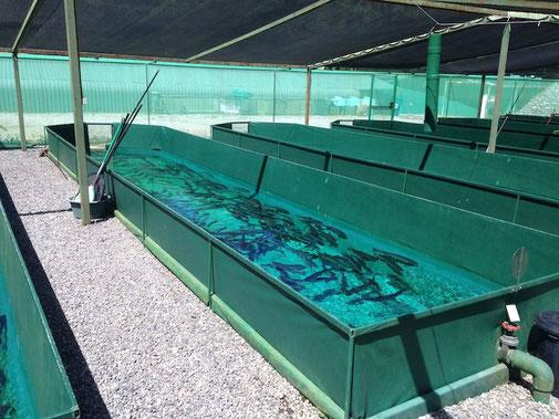 Raceways de cultivo de reproductores bajo régimen de luz natural