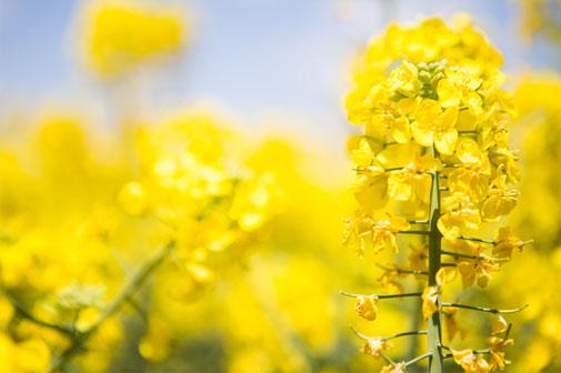 からだに必要だからからおいしい菜種油の原料、菜の花