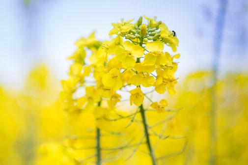 美しく咲く菜の花