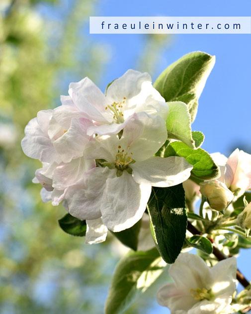 Apfelblüte | Fräulein Winter