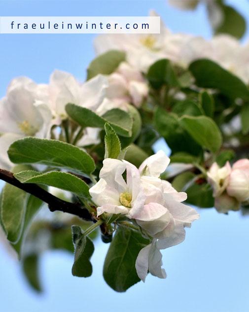 Blühender Apfelbaum | Fraeullein Winter