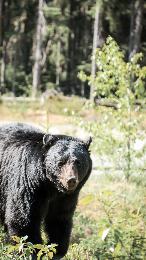 Bär, Kanada
