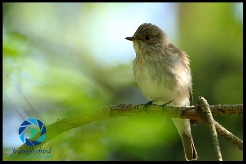 Spotted Flycatcher in a forest on a branch