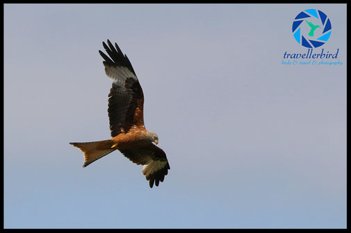 Red kite bird of pray flying high in the sky