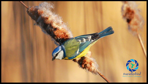 Blaumeise Bluetit on reed