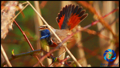 Blaukehlchen Luscinia svecica Bluethroat singing Bird