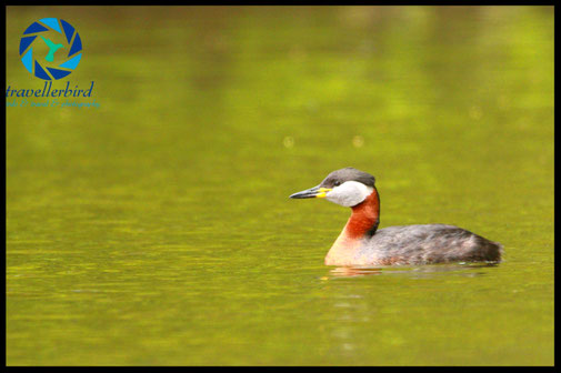 Red-necked grebe on a lake