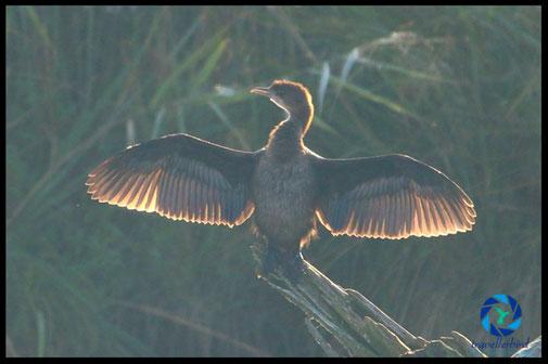 pygmy cormorant in sunrise