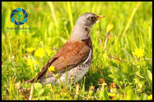 Fieldfare Bird on the grass