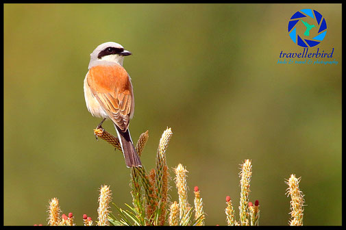 Red-backed shrike on a treetop