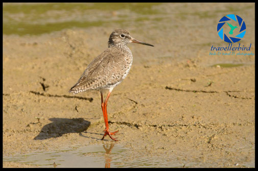 Common redshank on a empty lake