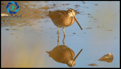 Bekassine Gallinago gallinago common snipe on a lake with a mirroring