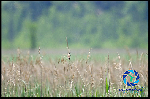 Whinchat on reed