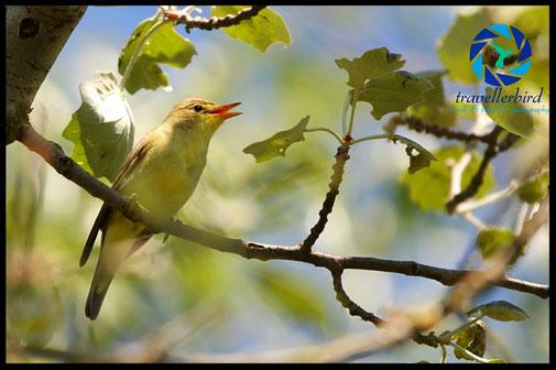 Icterine Warbler bird singing on a tree