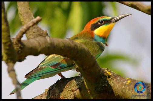 Eurasian bee-eater