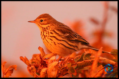 Meadow Pipit in setting light