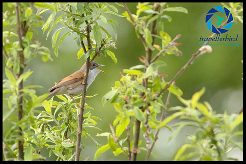 Common whitethroat singing in a tree