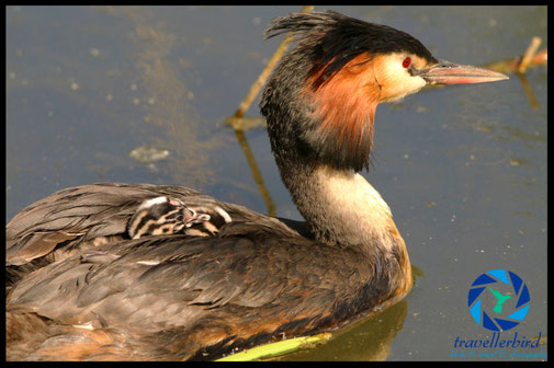Great crested grebe with some chicks on back