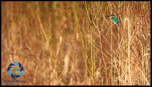 Eisvogel Kingfisher Alcedo atthis an einem Teich