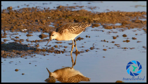 Kampfläufer Philomachus pugnax Ruff in a lake with some mirorring