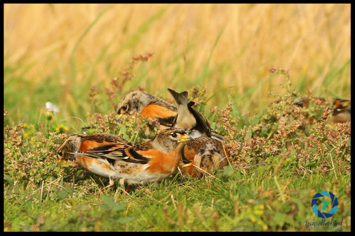 Brambling in Grass