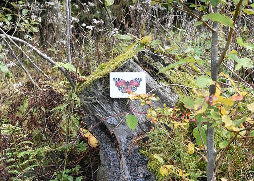 Schmetterling,Tagpfauenauge,Postkarte, Christine Wiegelmann, Waldprojekt, Steinbruch, Sauerland
