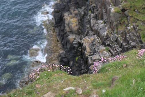 Rosa Blumen wachsen am Rand der Klippen