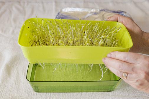 スプラウト専門容器 水受けと網状の種受け容器に分けられる