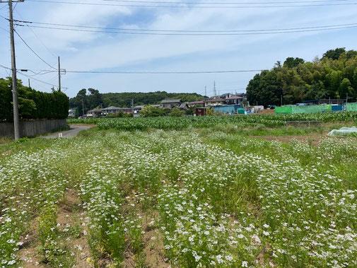 小さくて可愛らしい花で埋め尽くされた畑
