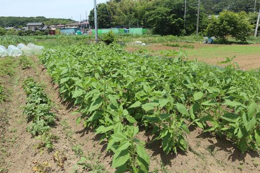 菊芋のエリア。しっかり雑草を摘んでいるため、生育が良い。