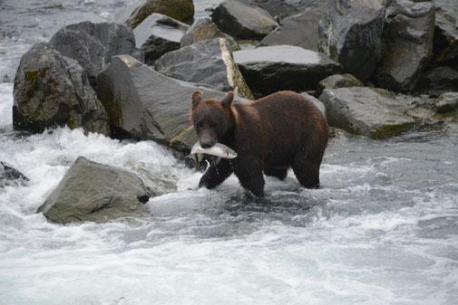 Junger Grizzly war erfolgreich